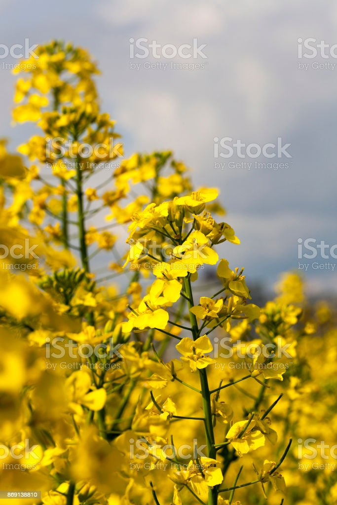 Field with rapeseed stock photo