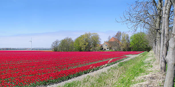 Field with red tulips in the Netherlands​​​ foto