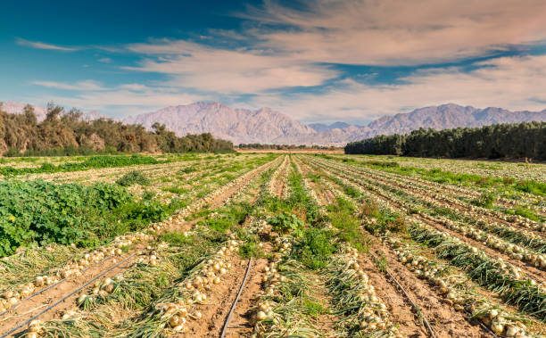 Field with ripening onions Advanced agriculture in desert area of the Middle East negev stock pictures, royalty-free photos & images