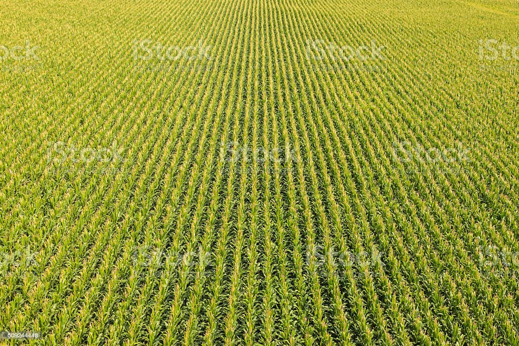 Field with rows of corn plants stock photo