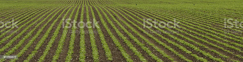 field with rows of greenery royalty-free stock photo