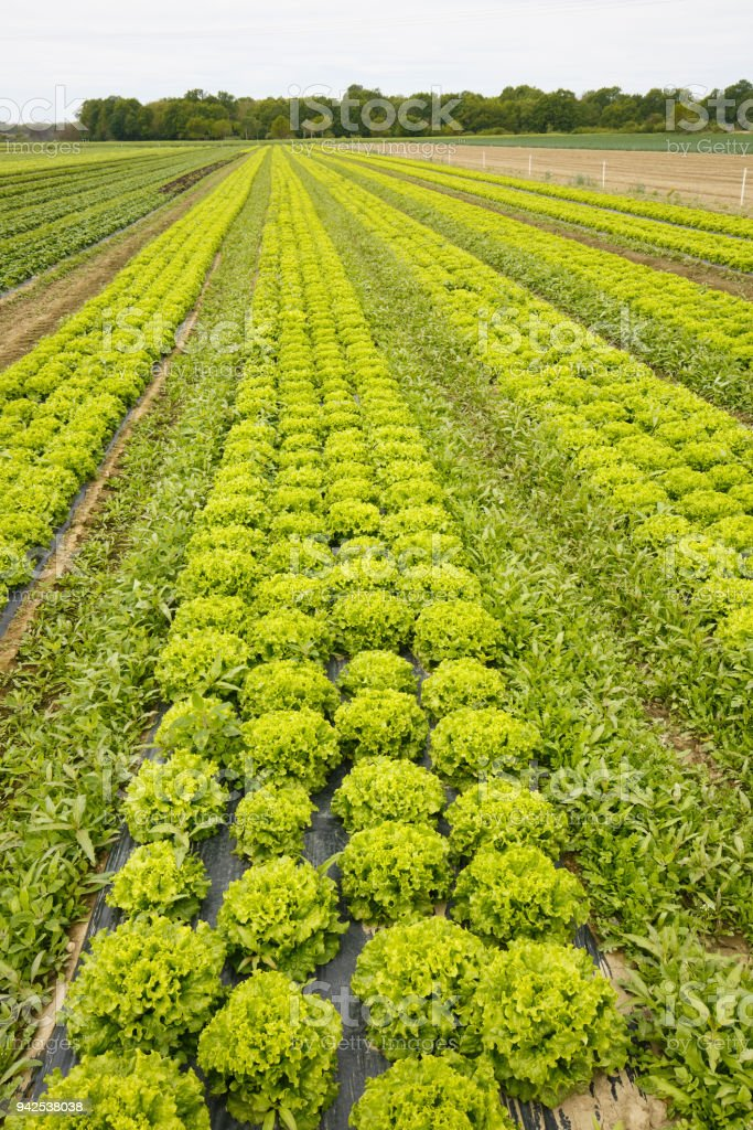 Field with rows of grown lettuce heads stock photo