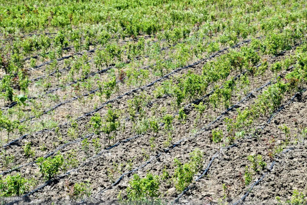 Field with seedlings of fruit trees. Reproduction of fruit crops. stock photo