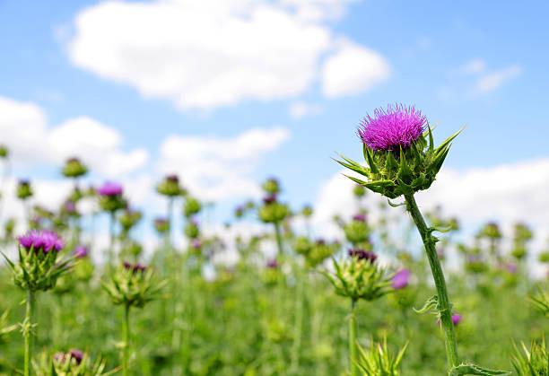 Field with Silybum marianum stock photo