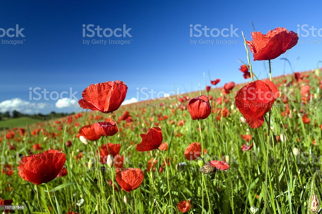 Field with slope and Poppies royalty-free stock photo