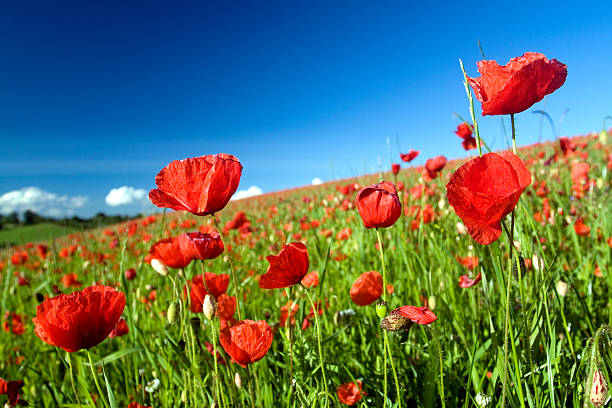 Field with slope and Poppies stock photo