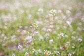 A field with small white wildflowers on a blurry background