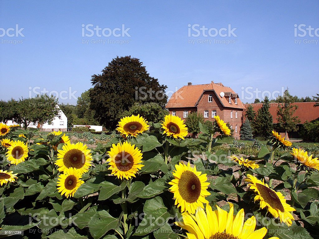 Field with sunflowers in front of a house royalty-free stock photo