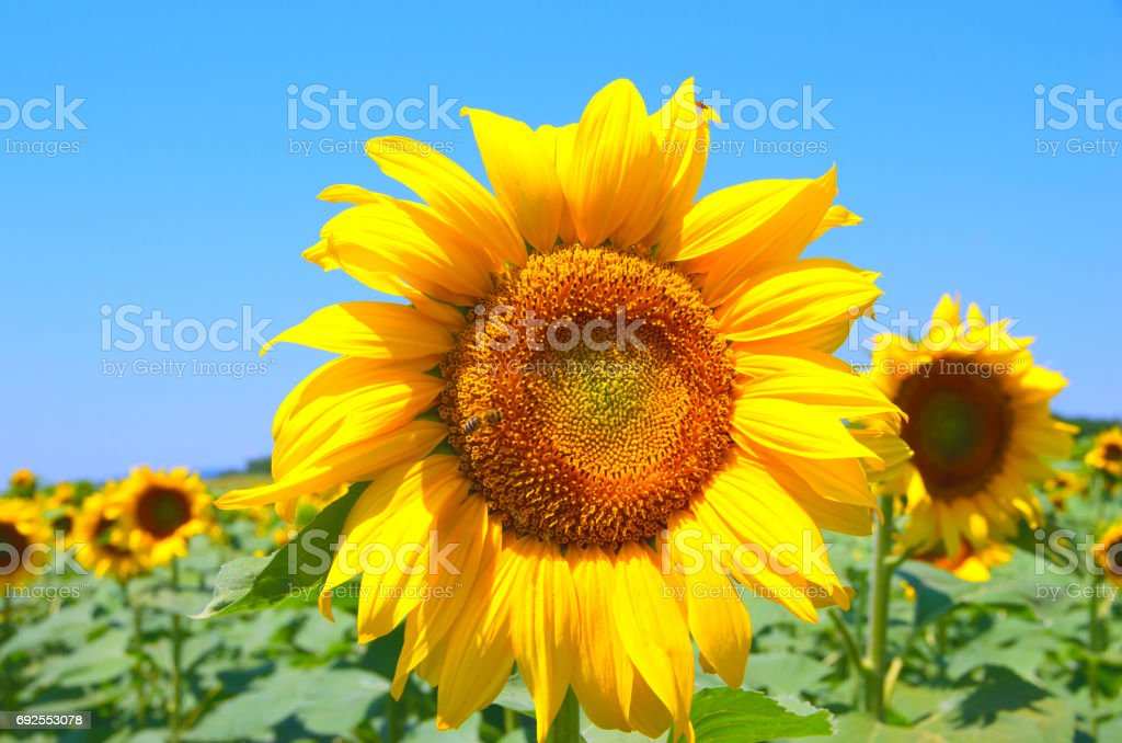Field with sunflowers stock photo