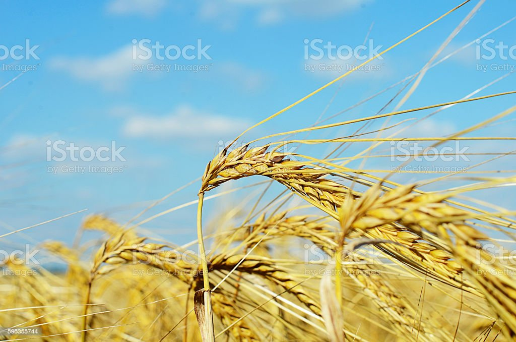 Field with the rye against sky royalty-free stock photo
