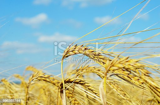 Field With The Rye Against Sky Stock Photo & More Pictures of Agriculture
