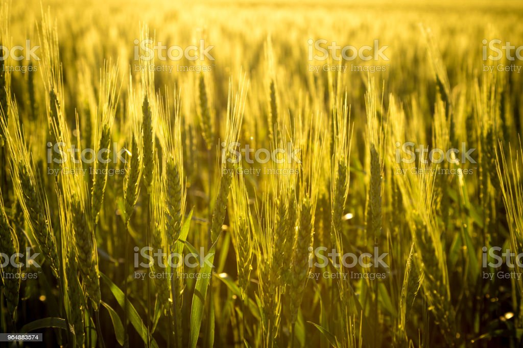 field with unripe wheat at sunset, closeup royalty-free stock photo