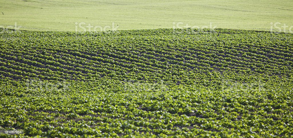 Field With Vegetables royalty-free stock photo