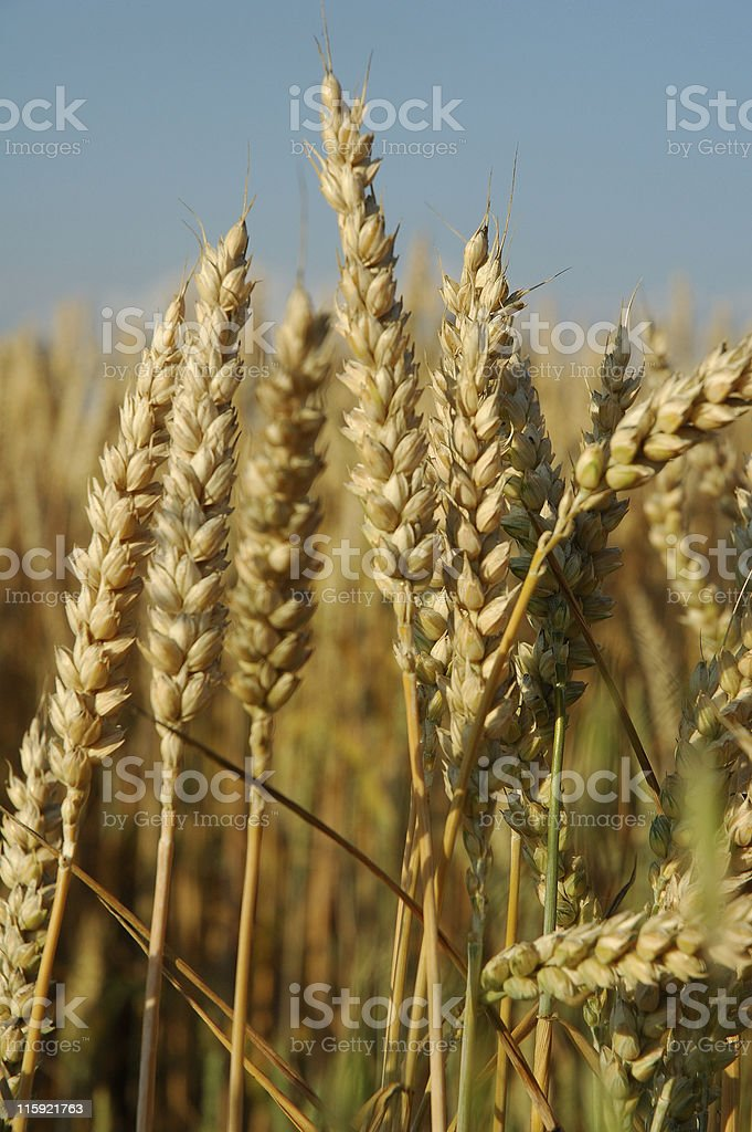 Field with wheat corn royalty-free stock photo
