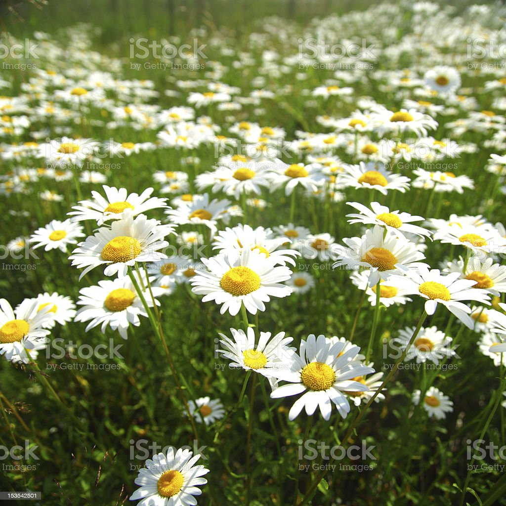 field with white daisies royalty-free stock photo