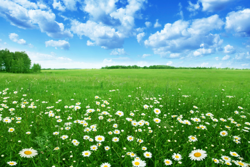 Field with white daisies under blue sky.