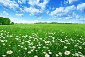」フィールドの下で青い空白い daisies ます。