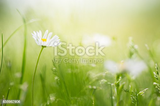Sunny day, field with wild daisies
