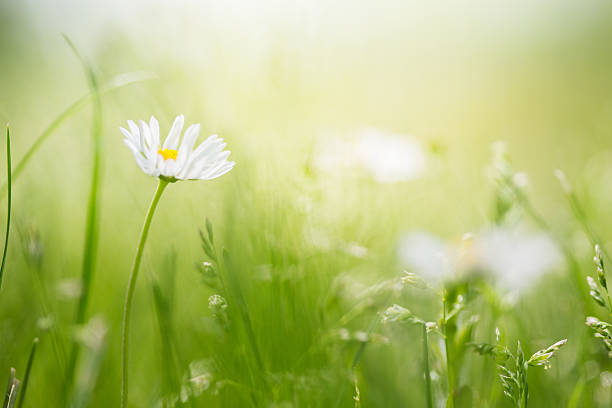 Field with wild daisies stock photo