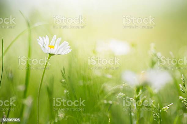 Photo of Field with wild daisies