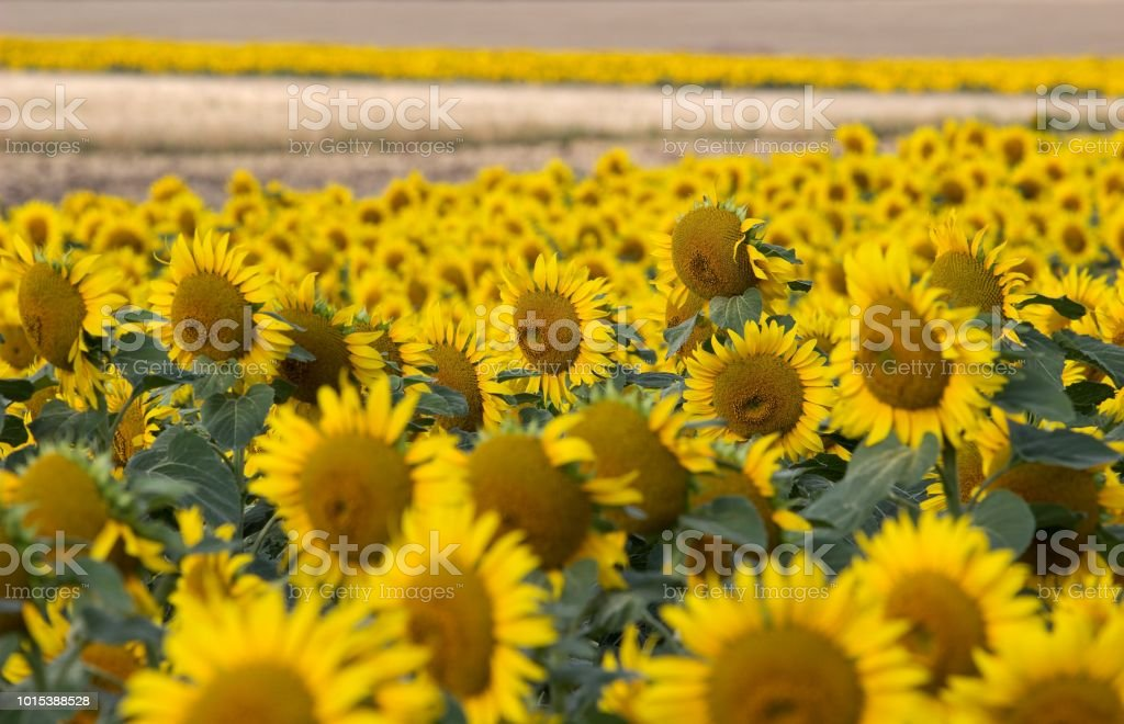 field with yellow sunflower stock photo