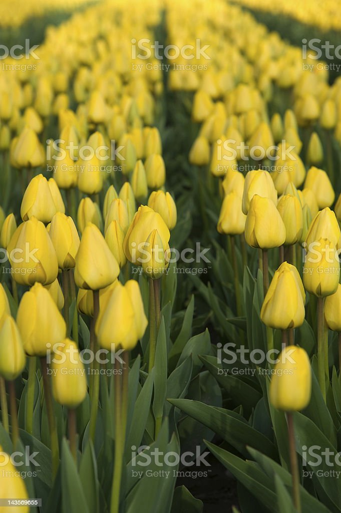 Field with yellow tulips royalty-free stock photo
