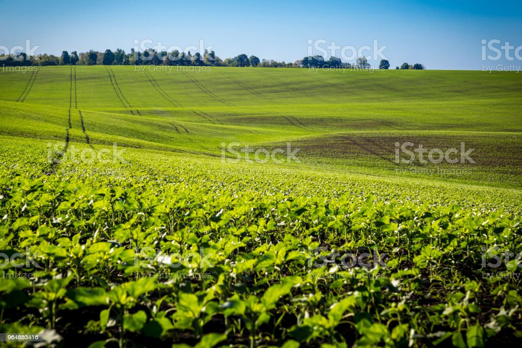 field with young green sunflower sprouts royalty-free stock photo