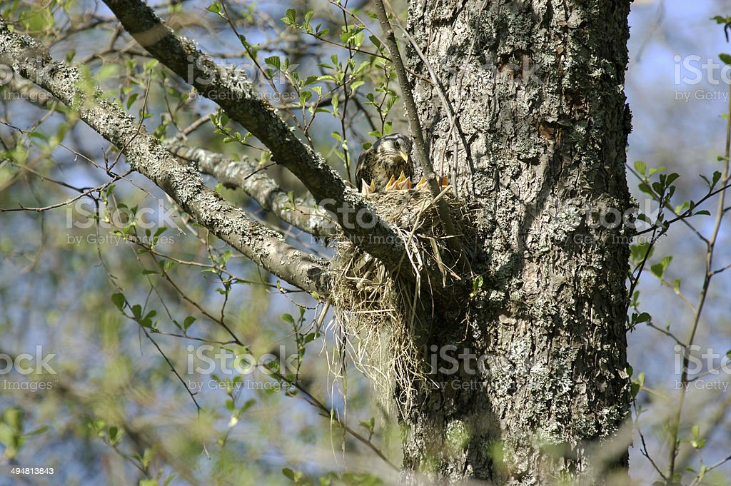 Fieldfare mother and babies stock photo