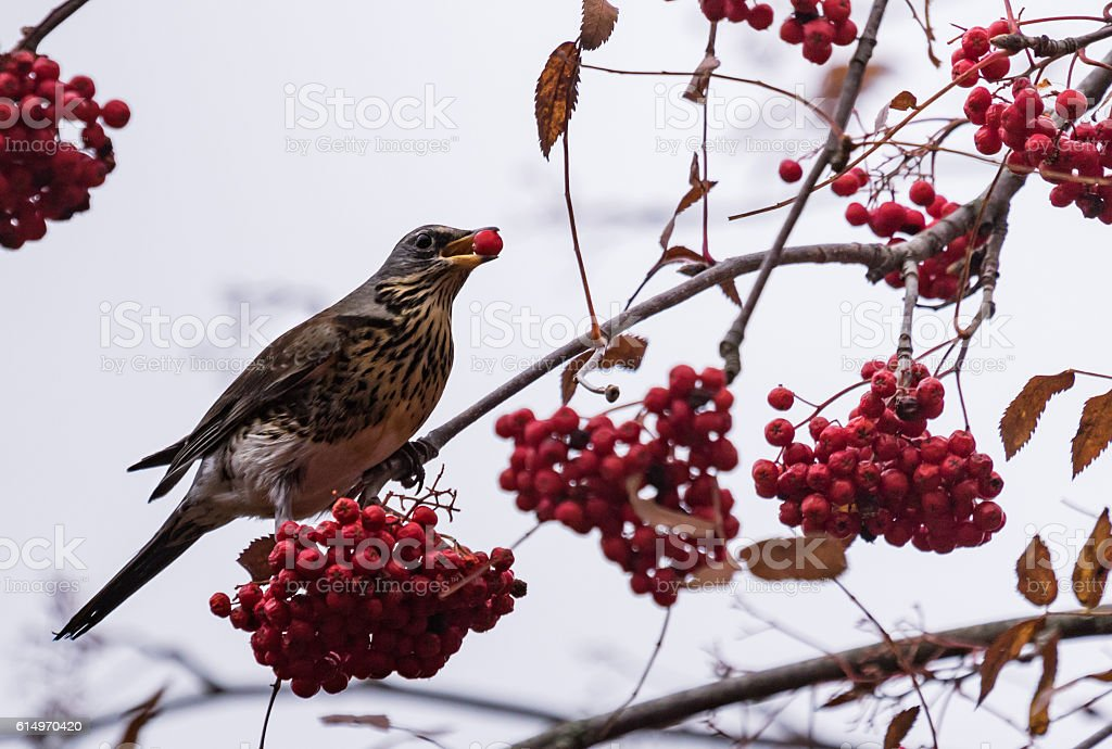 Fieldfare on a rowan tree stock photo