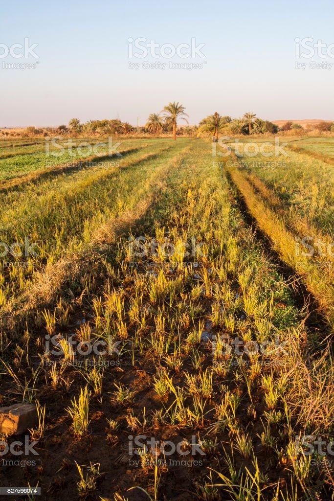 Fields at Dahla oasis, Egypt. stock photo