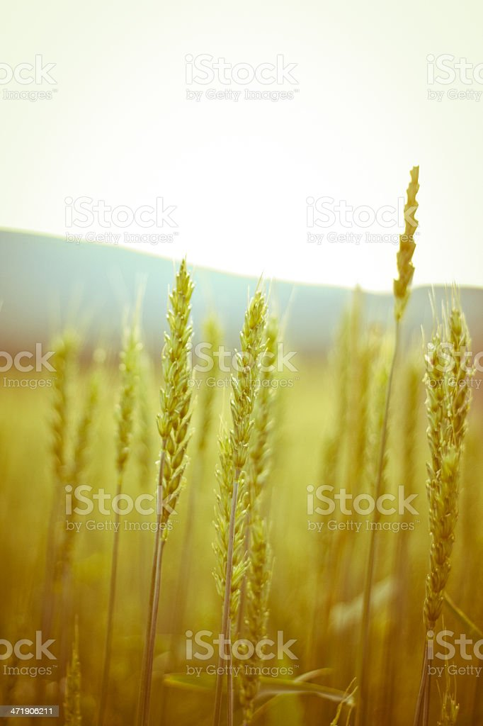 Fields of barley. royalty-free stock photo