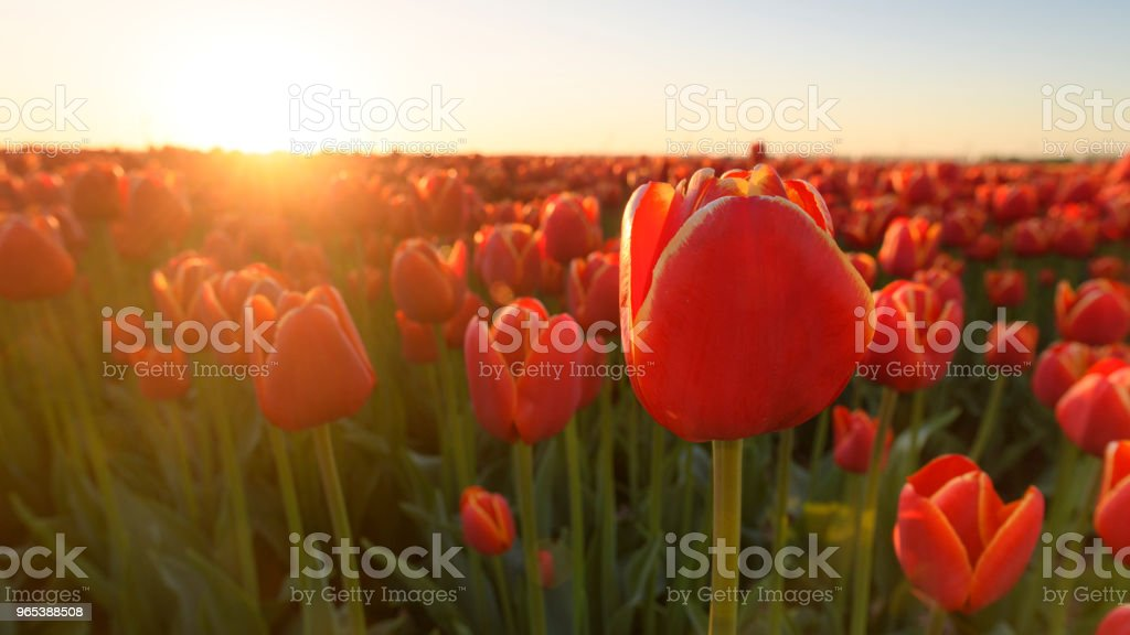 Fields of blooming red tulip flowers during spring in Holland royalty-free stock photo