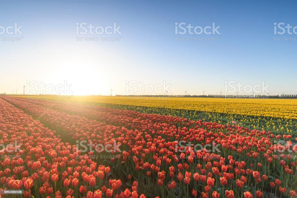 Blühende rote Tulpe Blumenwiesen im Frühling in Holland - Lizenzfrei Abenddämmerung Stock-Foto