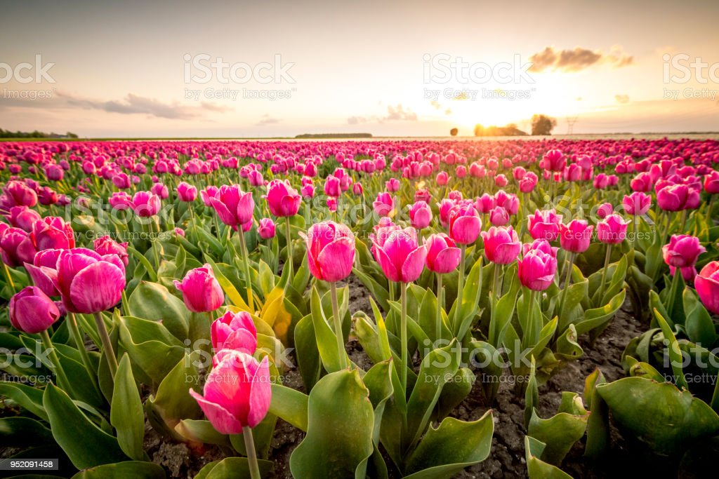 Fields of blooming red tulips during sunset in Holland - foto stock