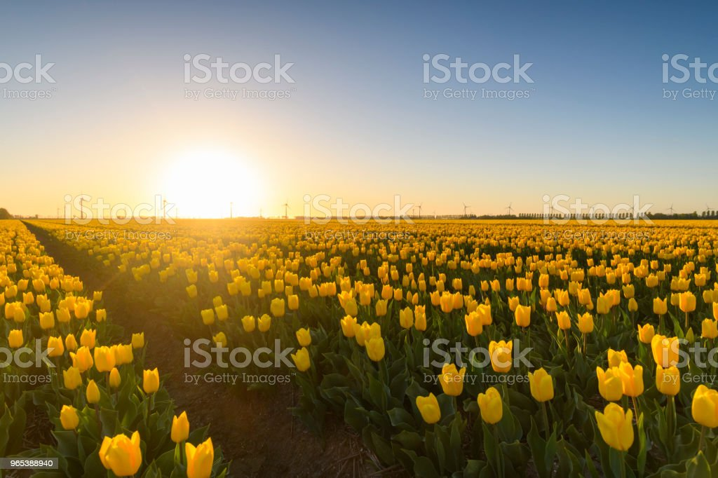 Fields of blooming yellow tulip flowers during spring in Holland zbiór zdjęć royalty-free