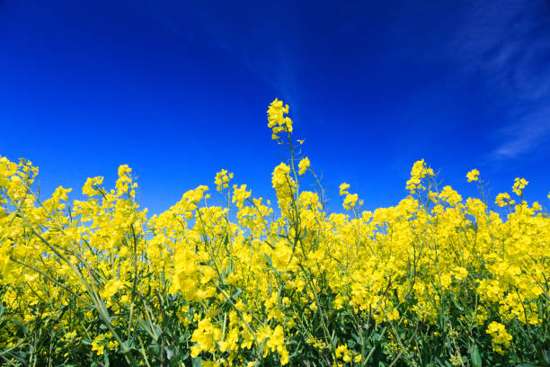 Fields of bright yellow Canola or Rapeseed. North Yorkshire, UK. stock photo