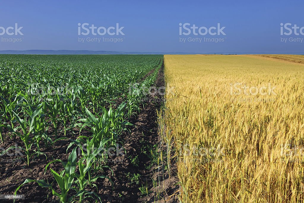 Fields of corn and wheat next to each other stock photo