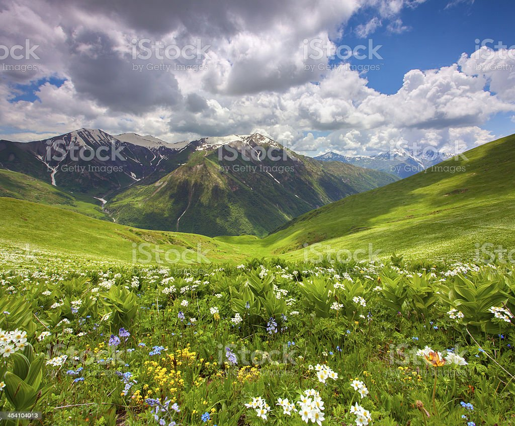 Fields of flowers in the mountains. royalty-free stock photo