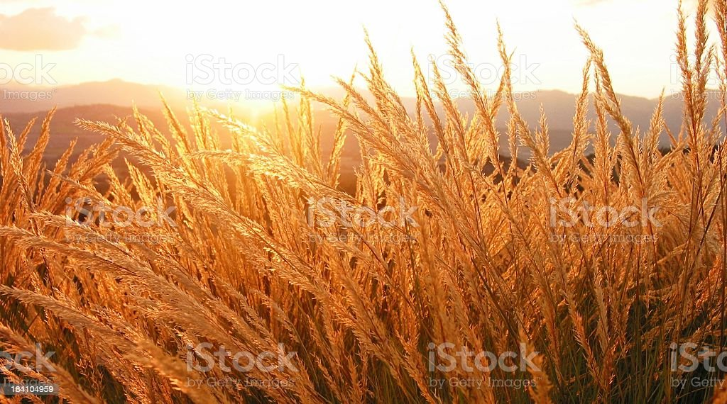 Fields Of Gold Wheat royalty-free stock photo