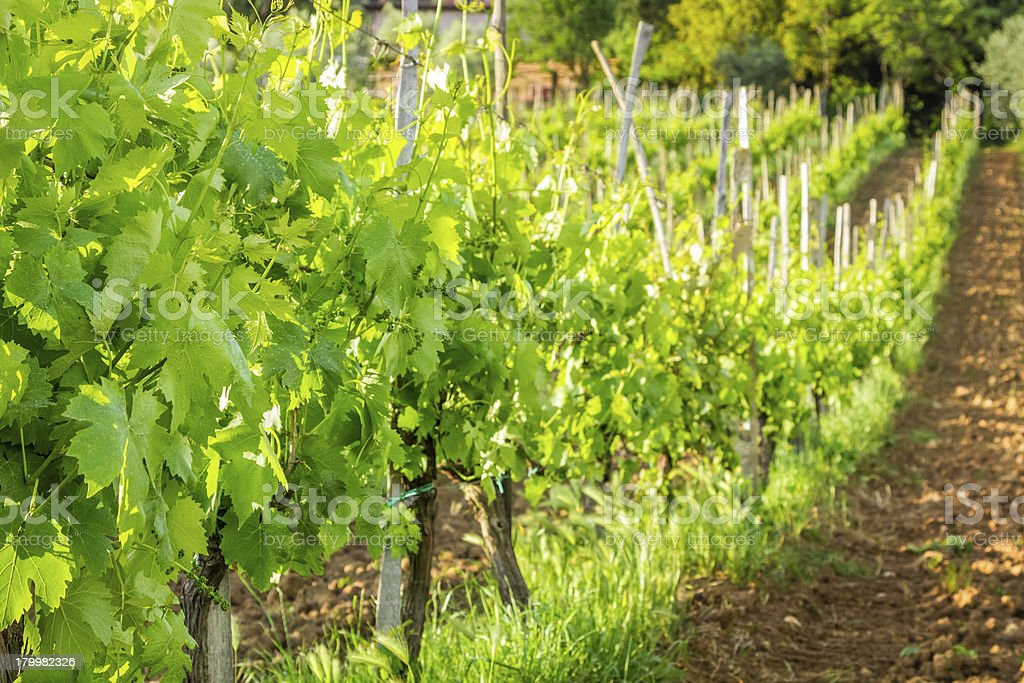 Fields of grapes in the summer, Tuscany royalty-free stock photo