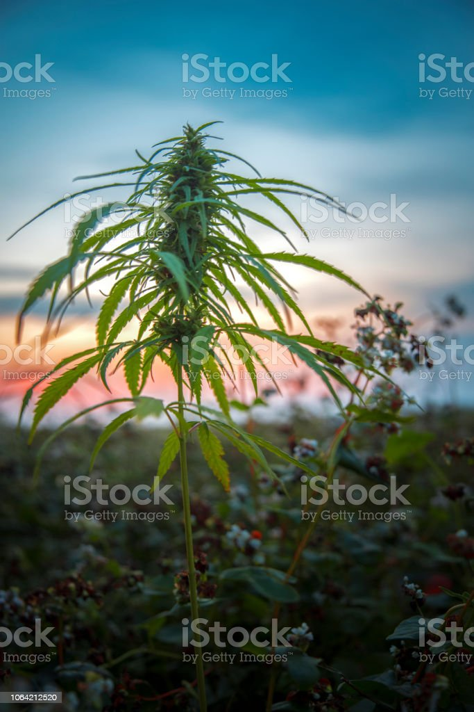 fields of industrial hemp in Estonia fields of industrial hemp in Estonia. Europe Agricultural Field Stock Photo