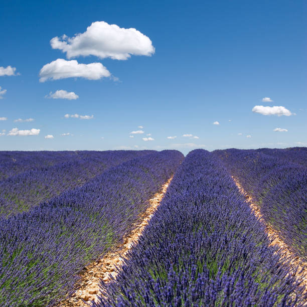 Fields of Lavender Against Blue Sky stock photo
