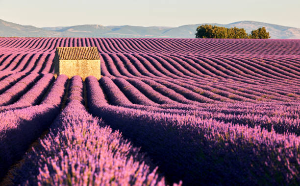 fields of lavender in Provence stock photo