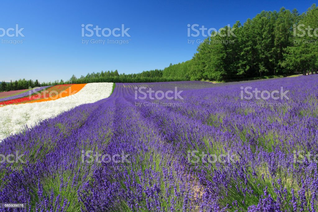 Fields of lavender foto stock royalty-free