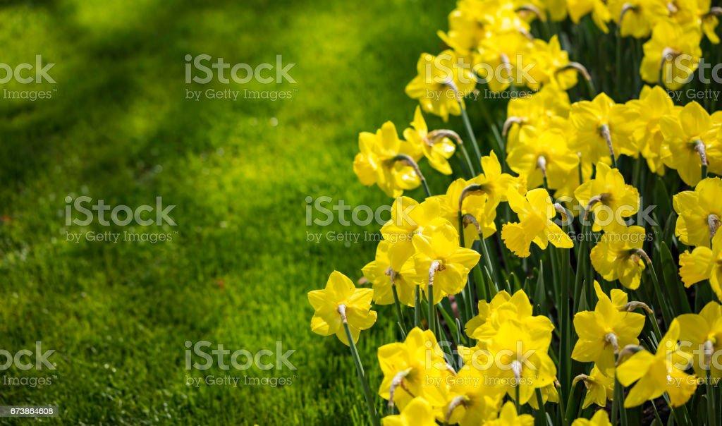 champs de fleurs de Narcisse photo libre de droits