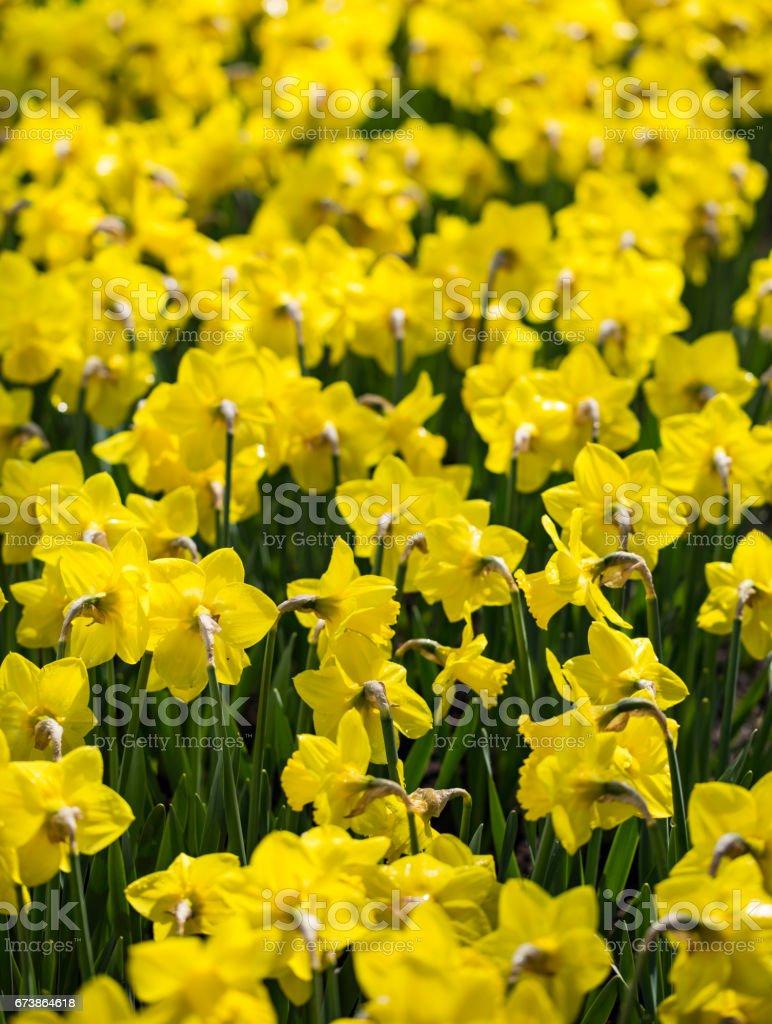 Nergis çiçek alanları royalty-free stock photo
