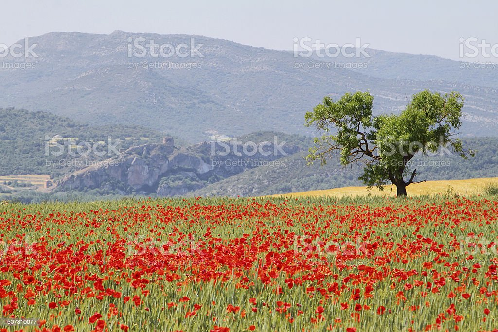 Fields of poppies with and almond tree stock photo