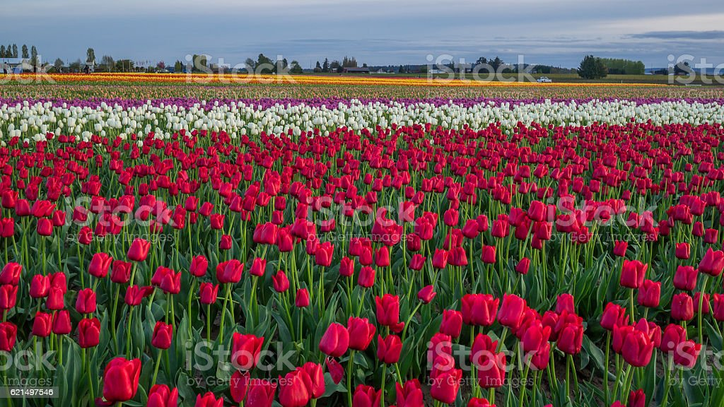 Fields of red tulips. Amazing field. Lizenzfreies stock-foto