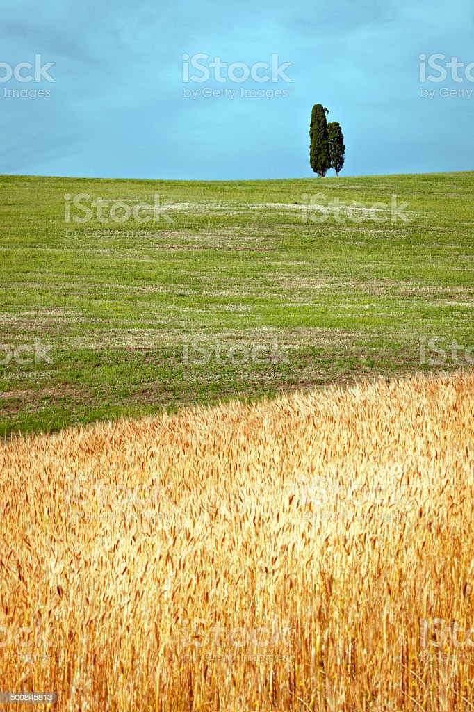 Fields of Ripe Wheat at Tuscany, Italy royalty-free stock photo