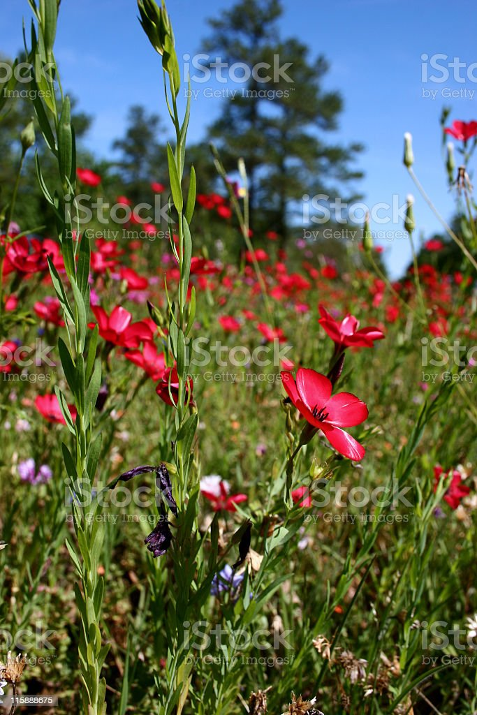 Fields of spring wildflowers. Meadow, pink flowers. Clear blue sky. royalty-free stock photo